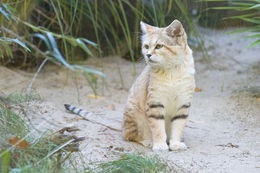 Pakistani sand cat. Image via Wikipedia